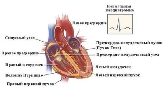 Сердце: расположение отделов, особенности строения. Нормальный вид ЭКГ