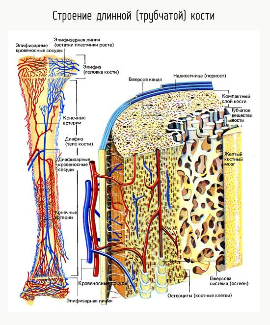 Строение длинной трубчатой кости