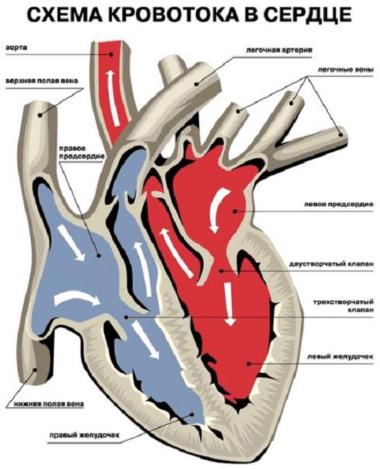 Схема кровотока и расположение клапанов
