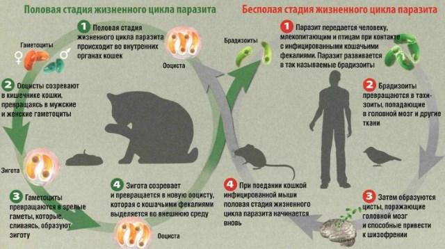 Формы жизни токсоплазмы