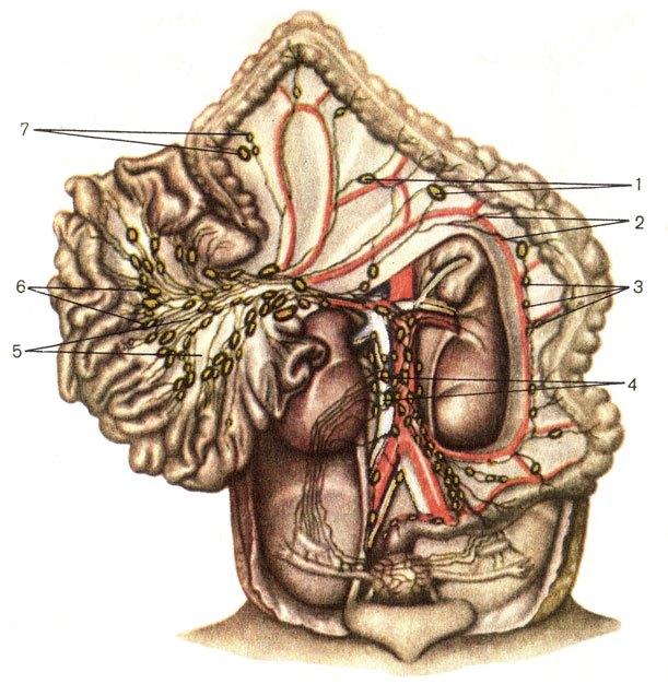 Лимфатические сосуды и узлы брюшной полости