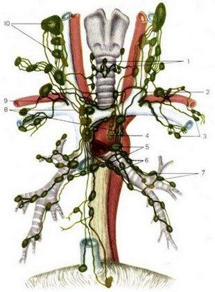 Лимфатические сосуды и узлы средостения