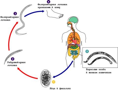 Механизм заражения стронгилоидозом