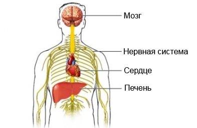 Органы, подверженные негативному влиянию алкоголя