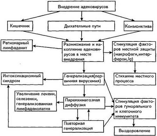 Процесс распространения аденовирусной инфекции