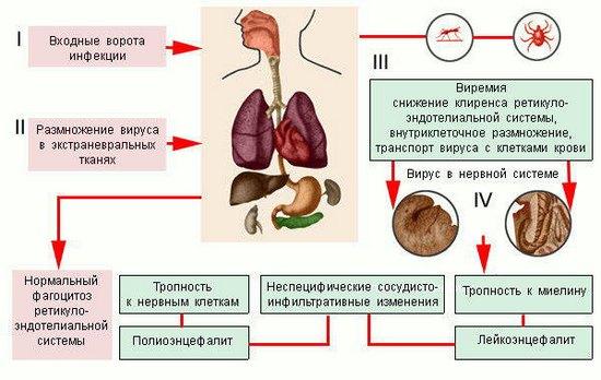 Пути проникновения и распространения вируса энцефалита в организме