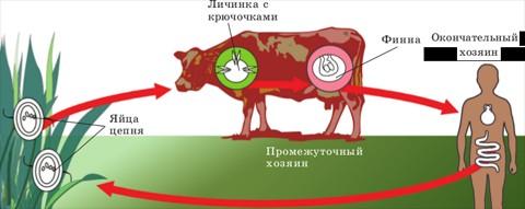Цикл развития бычьего цепня