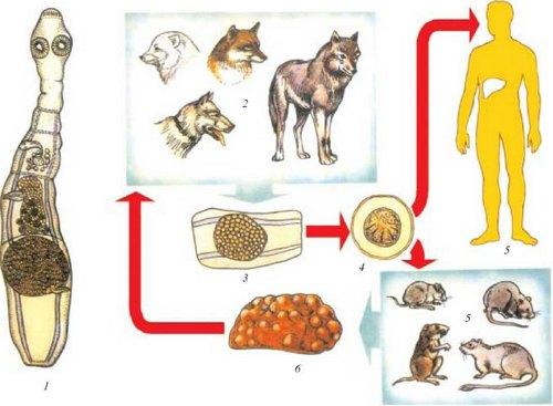 Жизненный цикл альвеококка
