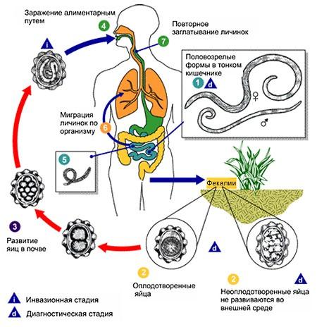 Жизненный цикл человеческих аскарид
