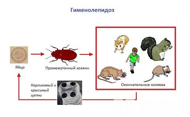 Возбудитель и пути передачи гименолепидоза