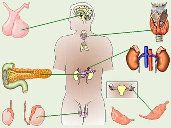 Органы, которые лечит эндокринолог