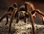 Может ли яд тарантула помочь в борьбе с болью?