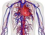 Ученые: кровеносные сосуды контролируют рост стволовых клеток