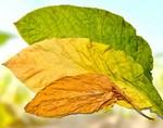 Листья табака являются универсальным средством от болезней кожи