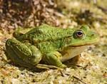 Слизь лягушек поможет победить грипп