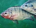 Для лечения ожогов будут использовать кожу рыб