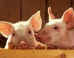 Свиные органы будут массово пересаживать людям