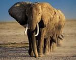 Понимание сопротивляемости к раку у слонов может помочь в лечении людей
