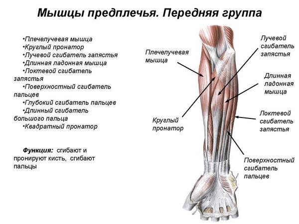 Мышцы предплечья